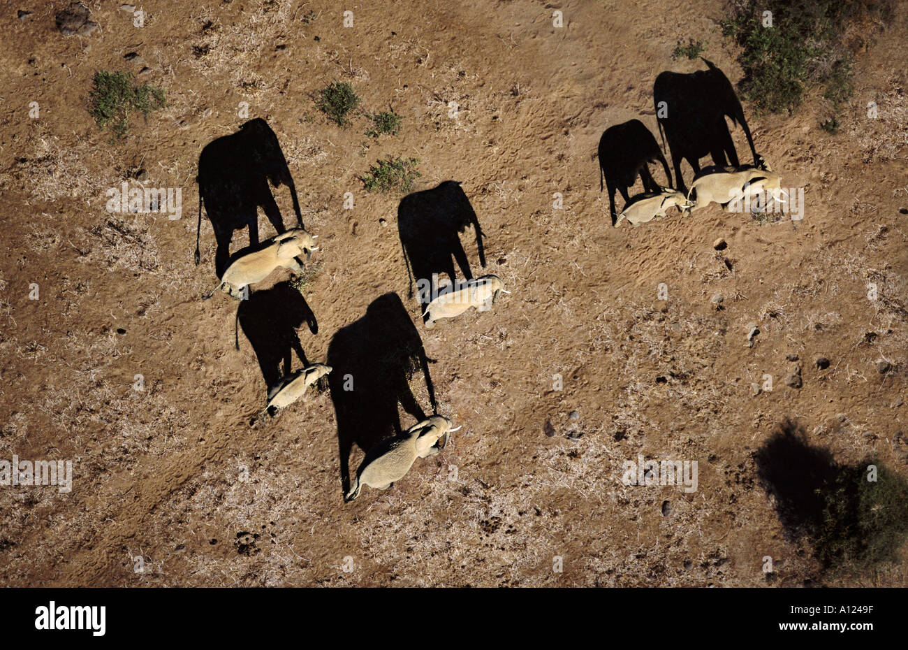 Elephants casting shadows Amboseli National Park Kenya Stock Photo