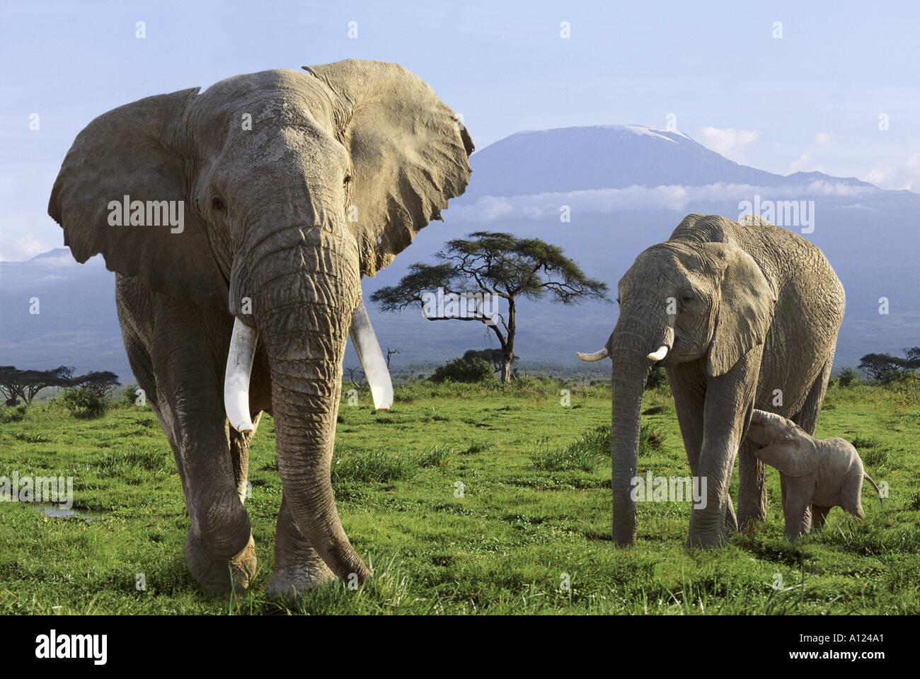 Elephant family and Mt Kilimanjaro Amboseli National Park Kenya - Stock Image