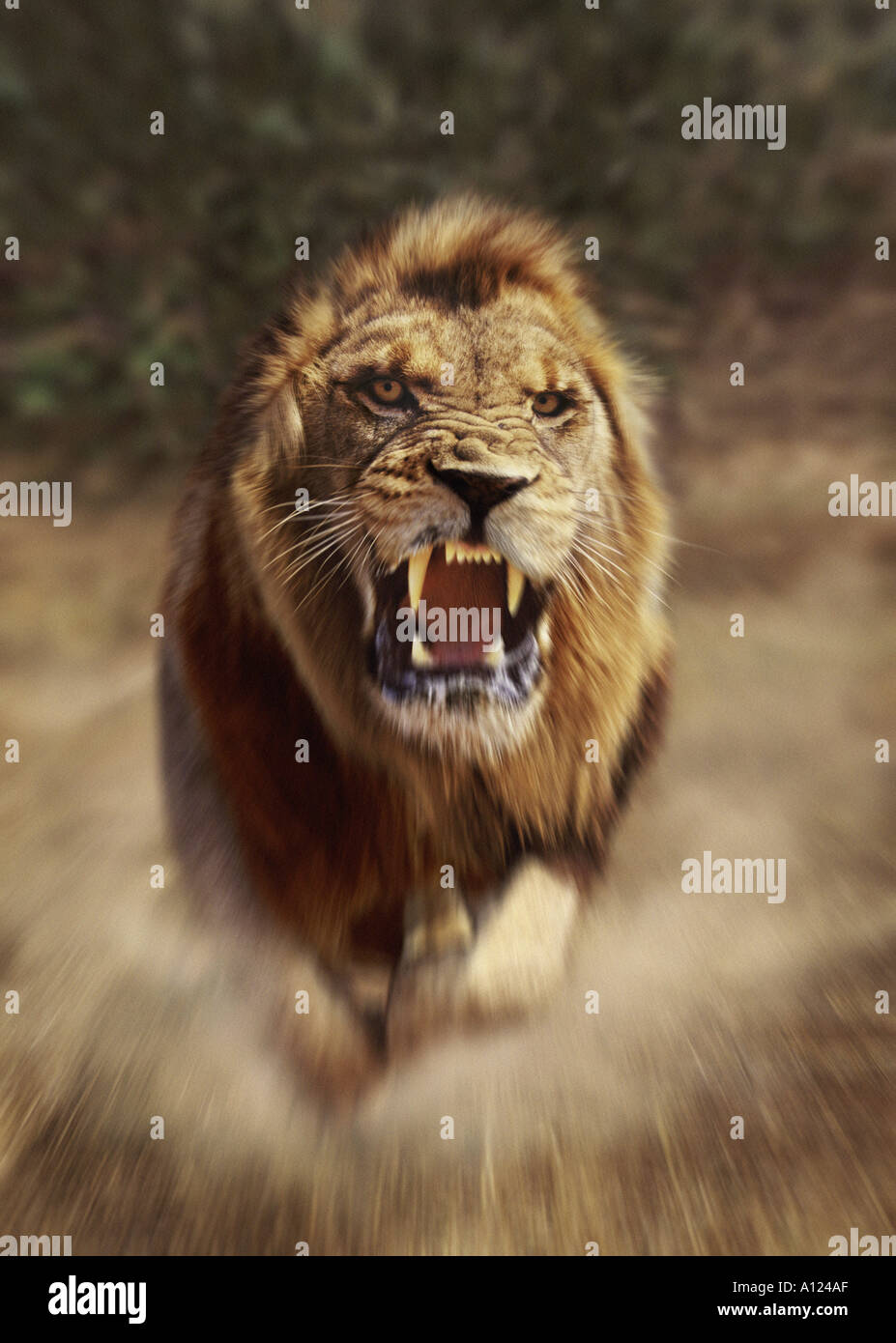 Lion charging South Africa - Stock Image