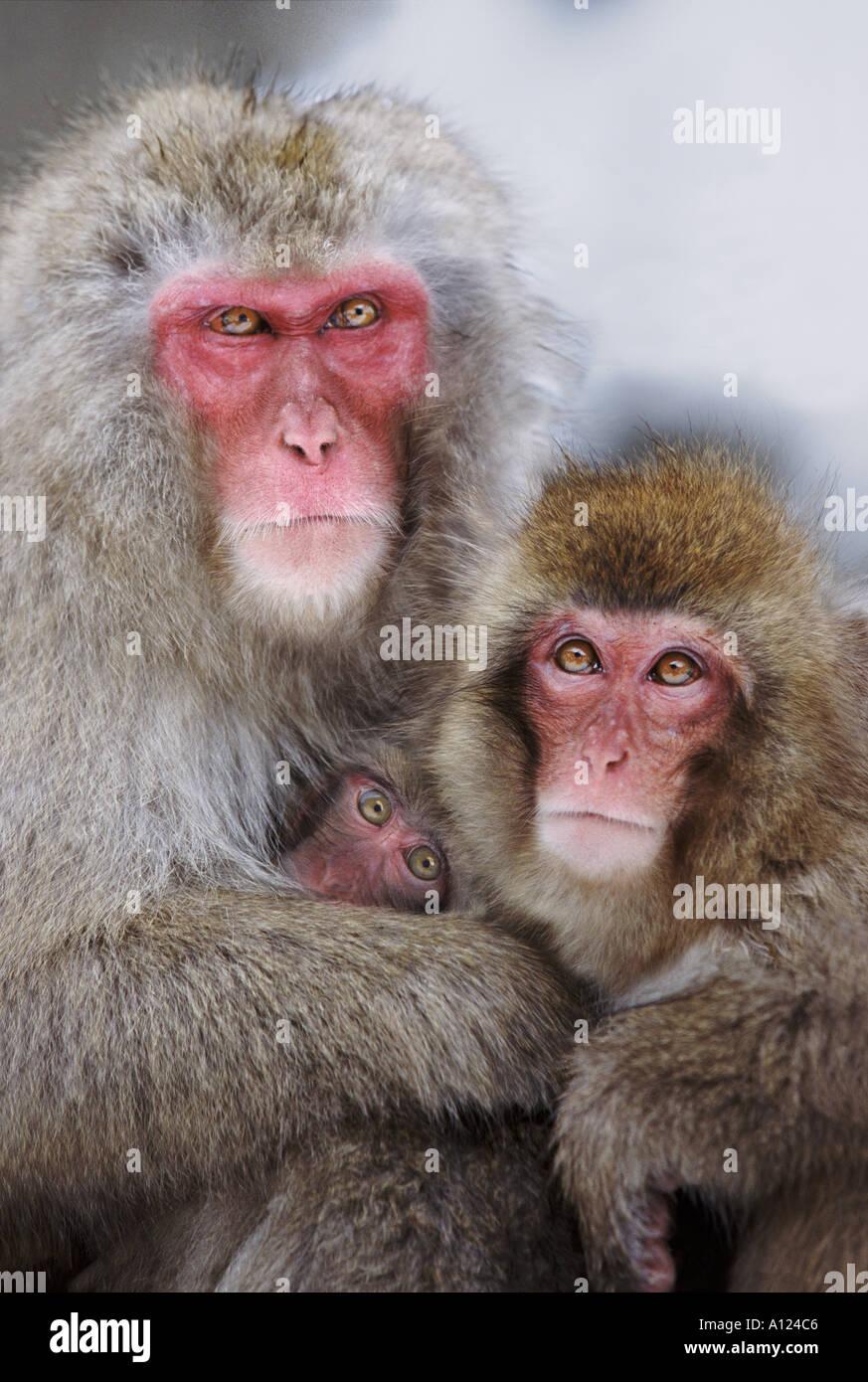 Snow monkey family Jigokudani National Park Japan Stock Photo