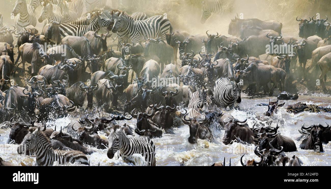 Wildebeest and zebra crossing Mara River with crocodiles Great Migration Kenya - Stock Image