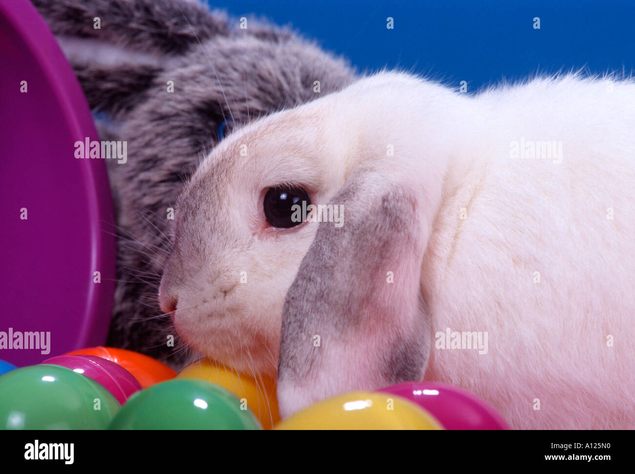 Holland Lop Bunny with plastic Easter eggs blue background