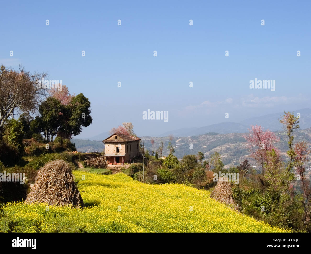 Farm growing mustard crop in the Himalayan foothills.  Dhulikhel Himalayas Nepal Asia - Stock Image