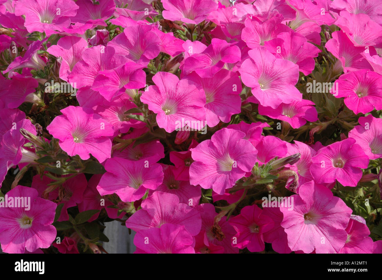Ampel petunia is one of the popular types of garden flowers 50