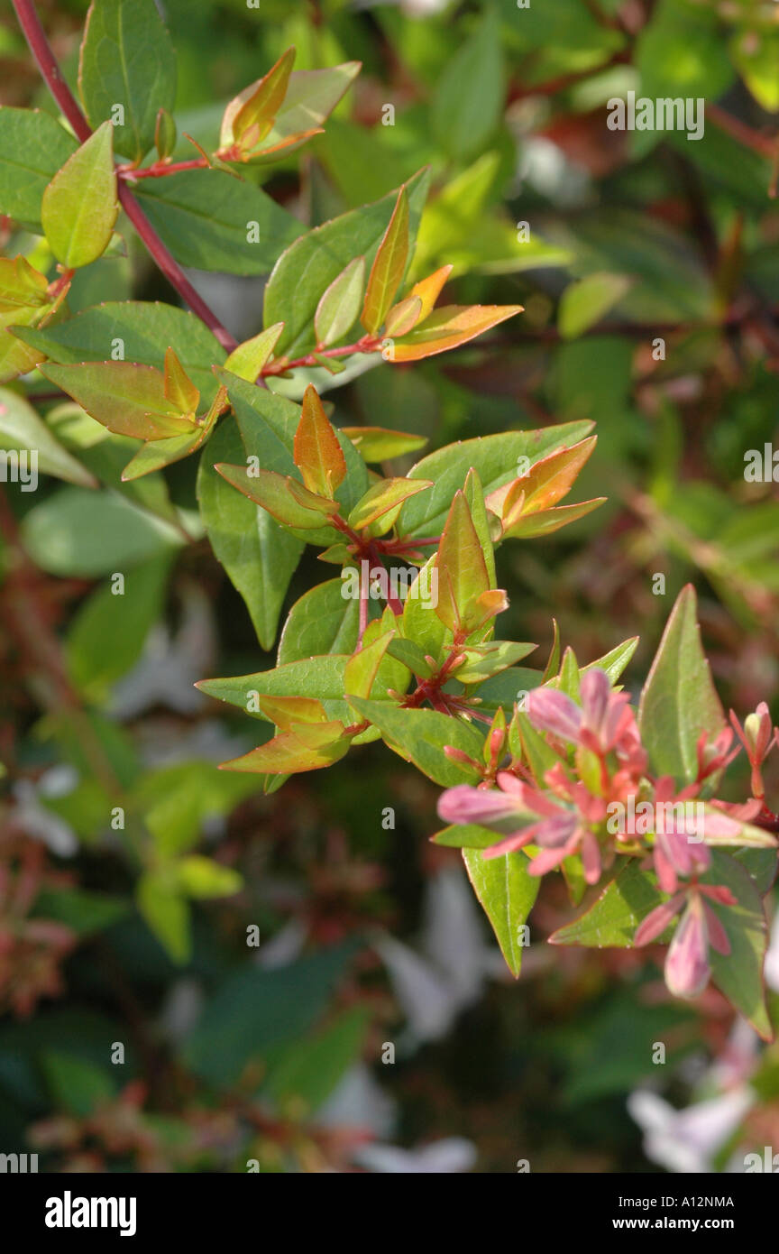 Abelia X Grandiflora Francis Mason Flowering Evergreen Shrub With