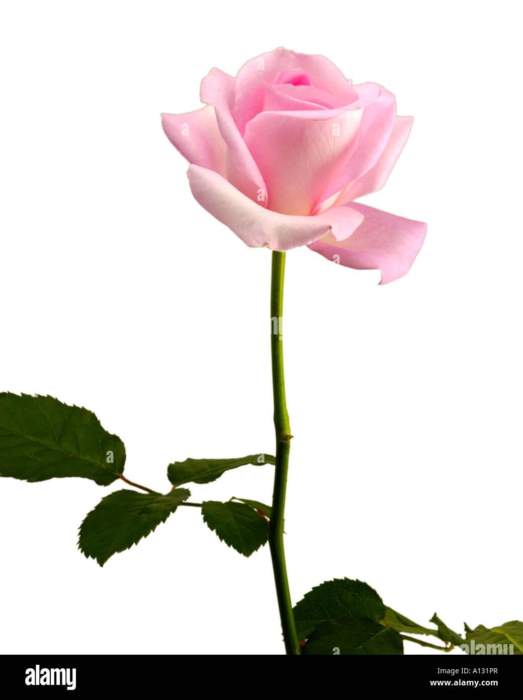 single pink rose on white background stock photo 10126750 alamy
