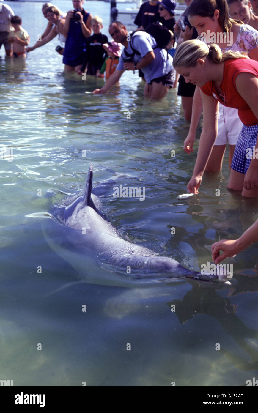 Tourists feeding Indo Pacific Humpback Dolphin Sousa chinensis at Tin Can Bay Queensland Australia - Stock Image
