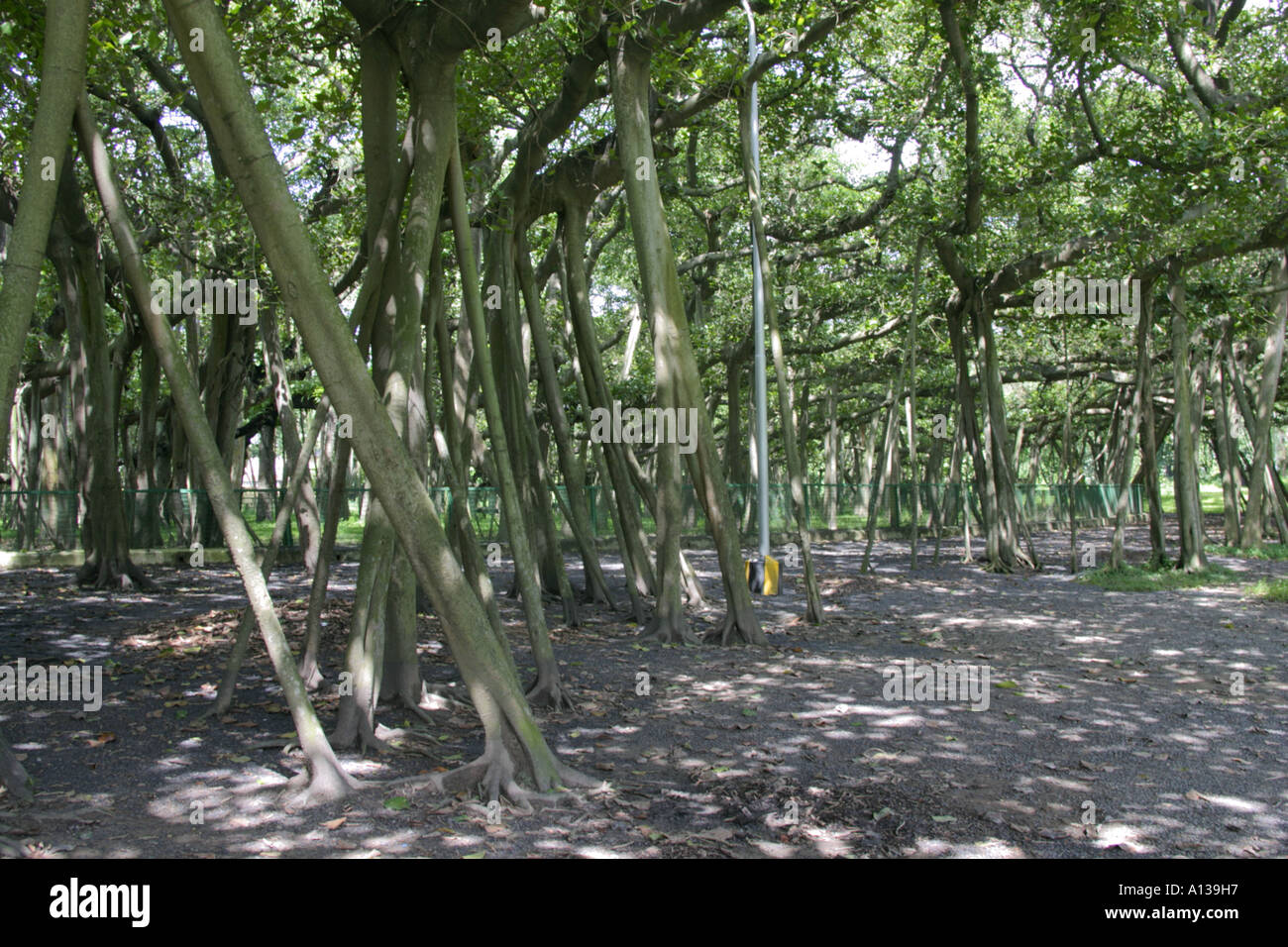 Banyan tree which forms a forest by aerial roots in the botanical garden, Kolkata, India - Stock Image