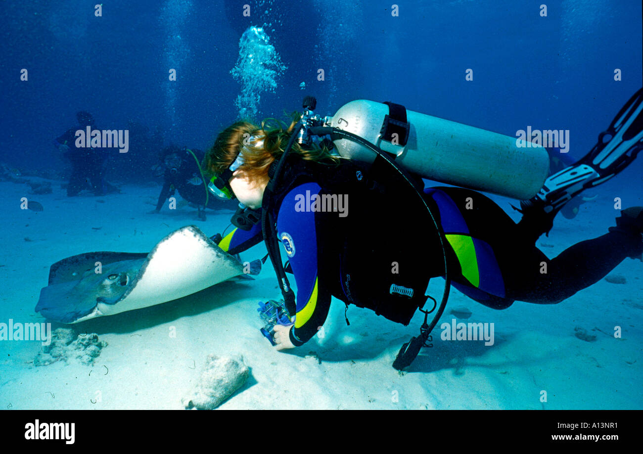 A diver strokes a Southern Stingray (Dasyatis americana) at Stingray City on Grand Cayman Island. - Stock Image