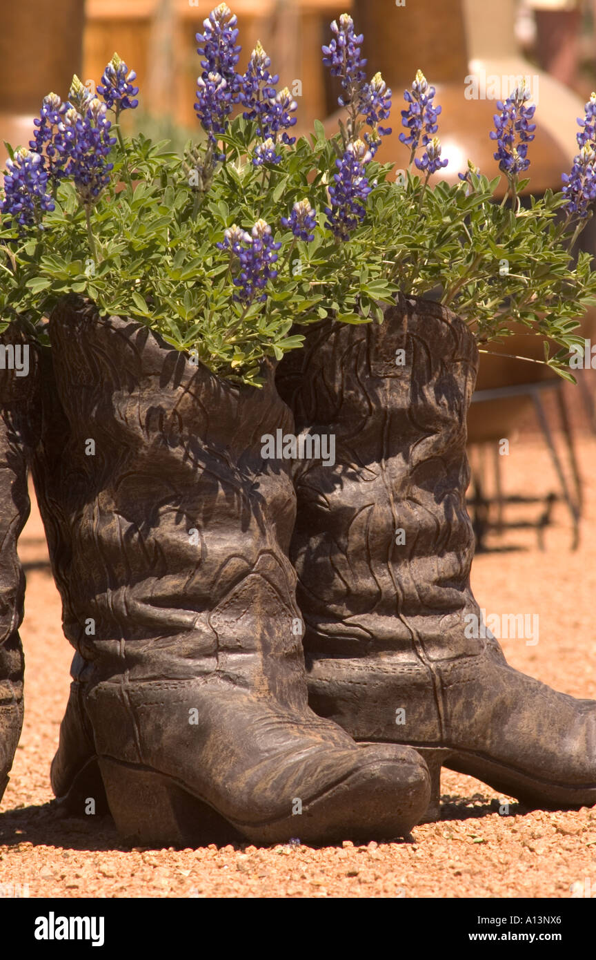 Texas Bluebonnet Lupinus Texensis Growing In A Ceramic Cowboy Boot