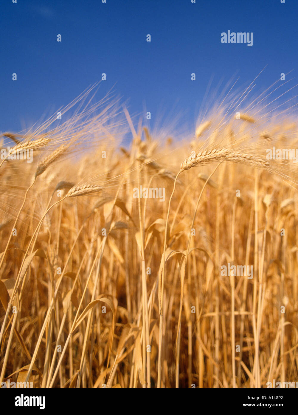Wheat in wheatfield - Stock Image