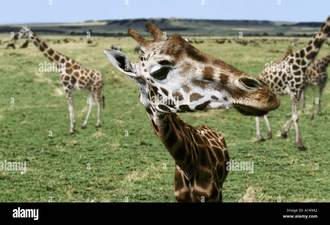 Inquisitive giraffe Masai Mara Kenya - Stock Image
