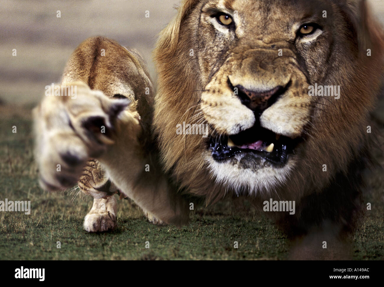 Lion snarling South Africa - Stock Image