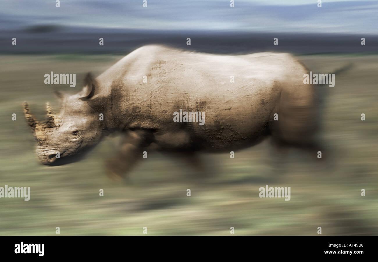 Charging rhinoceros - Stock Image
