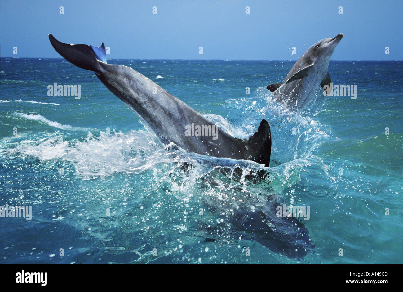 Bottlenose dolphins South Africa - Stock Image