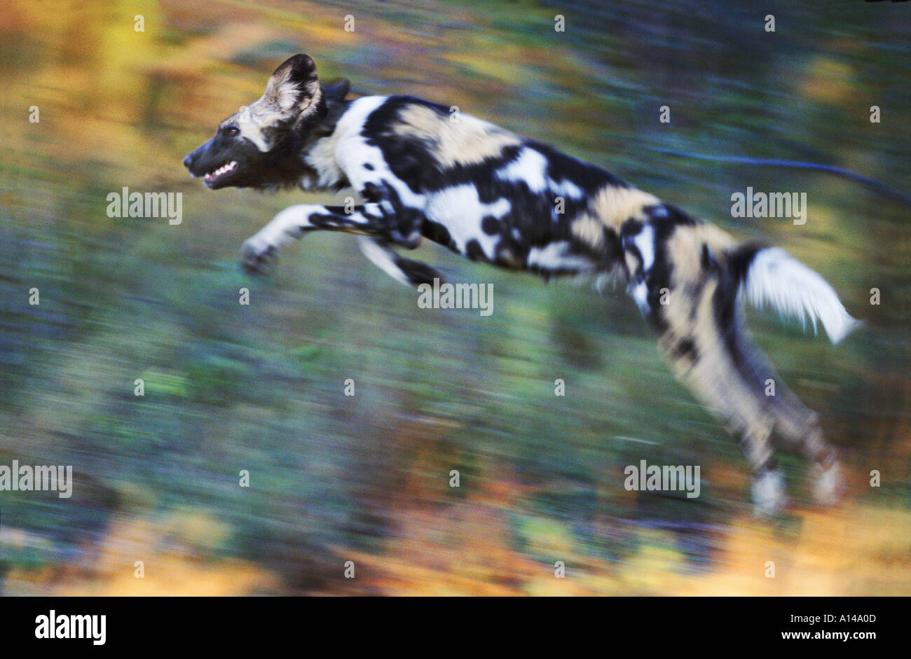 African wild dog leaping South Africa - Stock Image