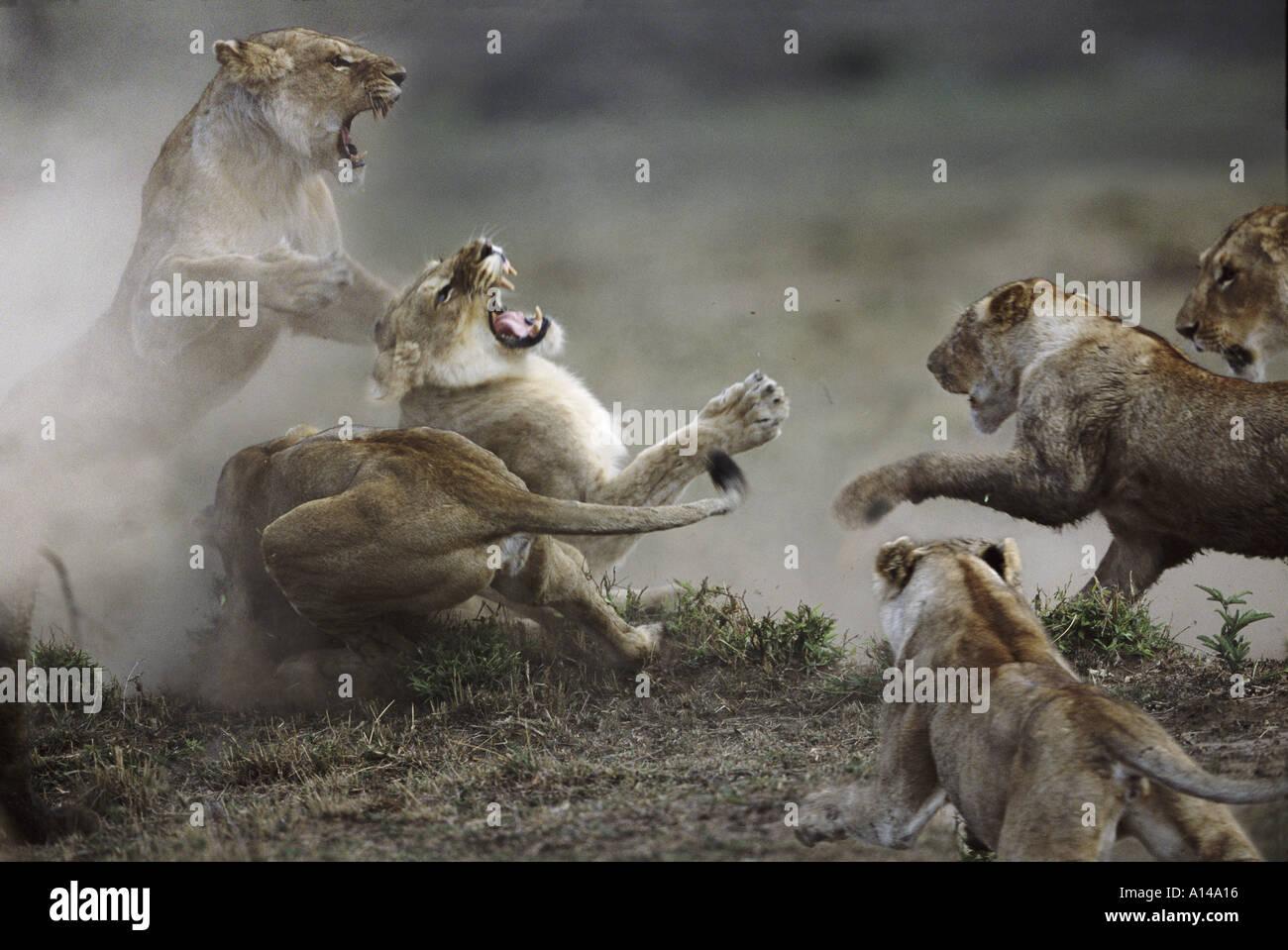 Lions fighting Masai Mara Kenya - Stock Image