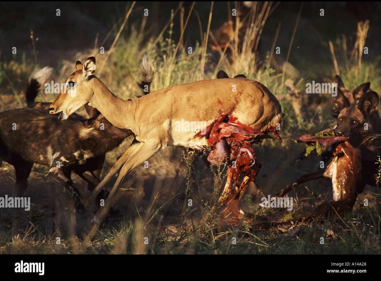 African wild dogs killing impala Botswana - Stock Image