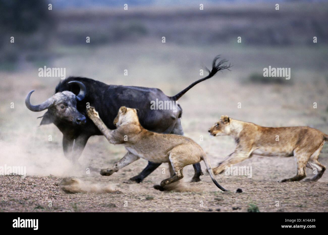 Lions attacking a buffalo Masai Mara Kenya - Stock Image