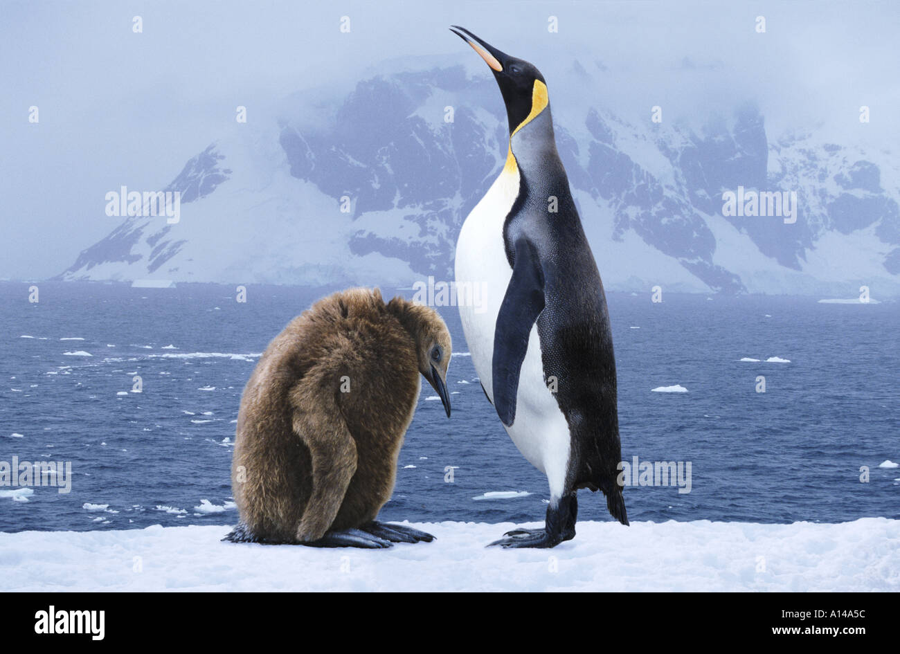 King Penguins South Georgia - Stock Image