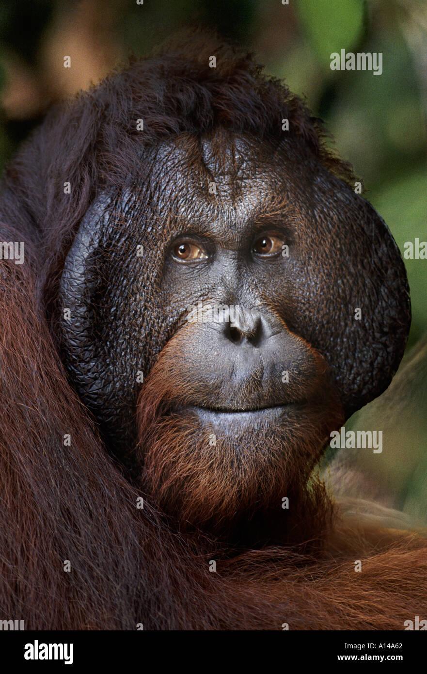 Mature Male Orangutan Tanjung Puting Borneo Stock Photo