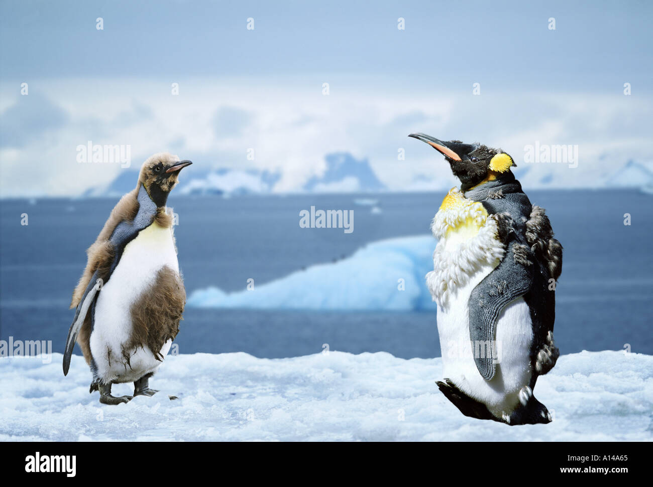 King penguins moulting Antarctica - Stock Image