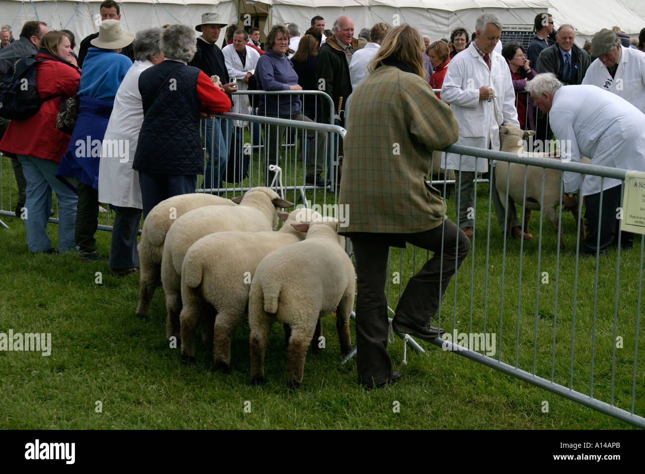 Farmers showing sheep at Devon County Show UK - Stock Image