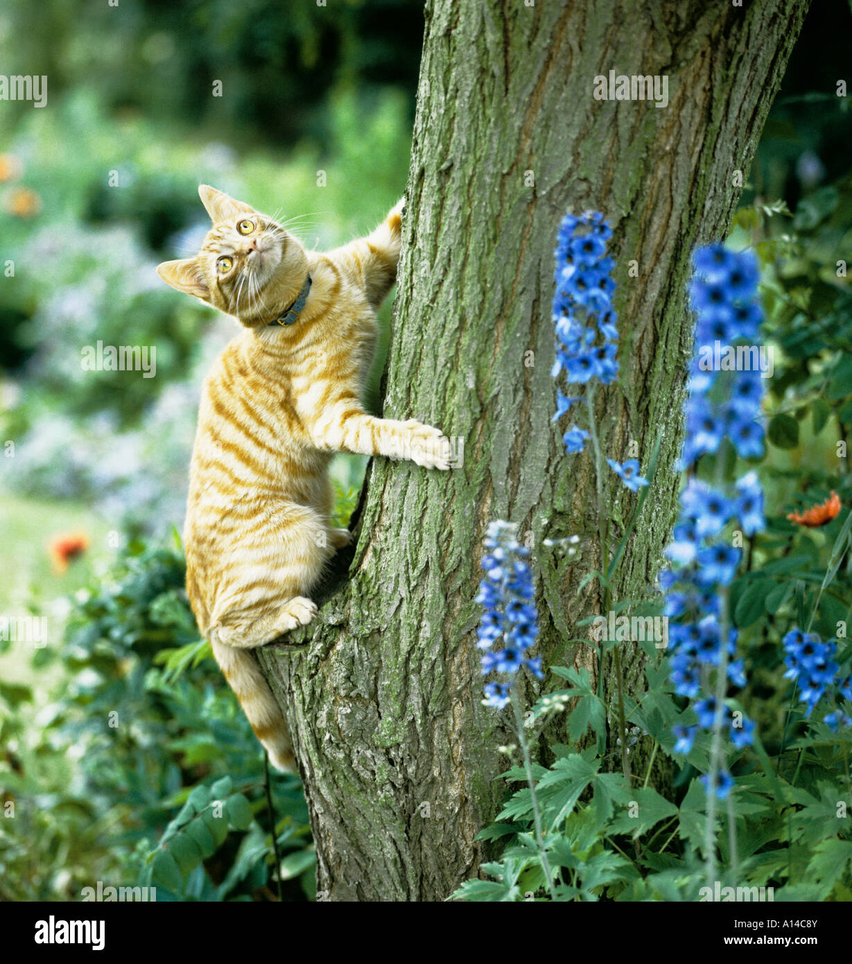 Talis a young cross breed short haired country cat learns to climb a tree Wiltshire UK EU - Stock Image