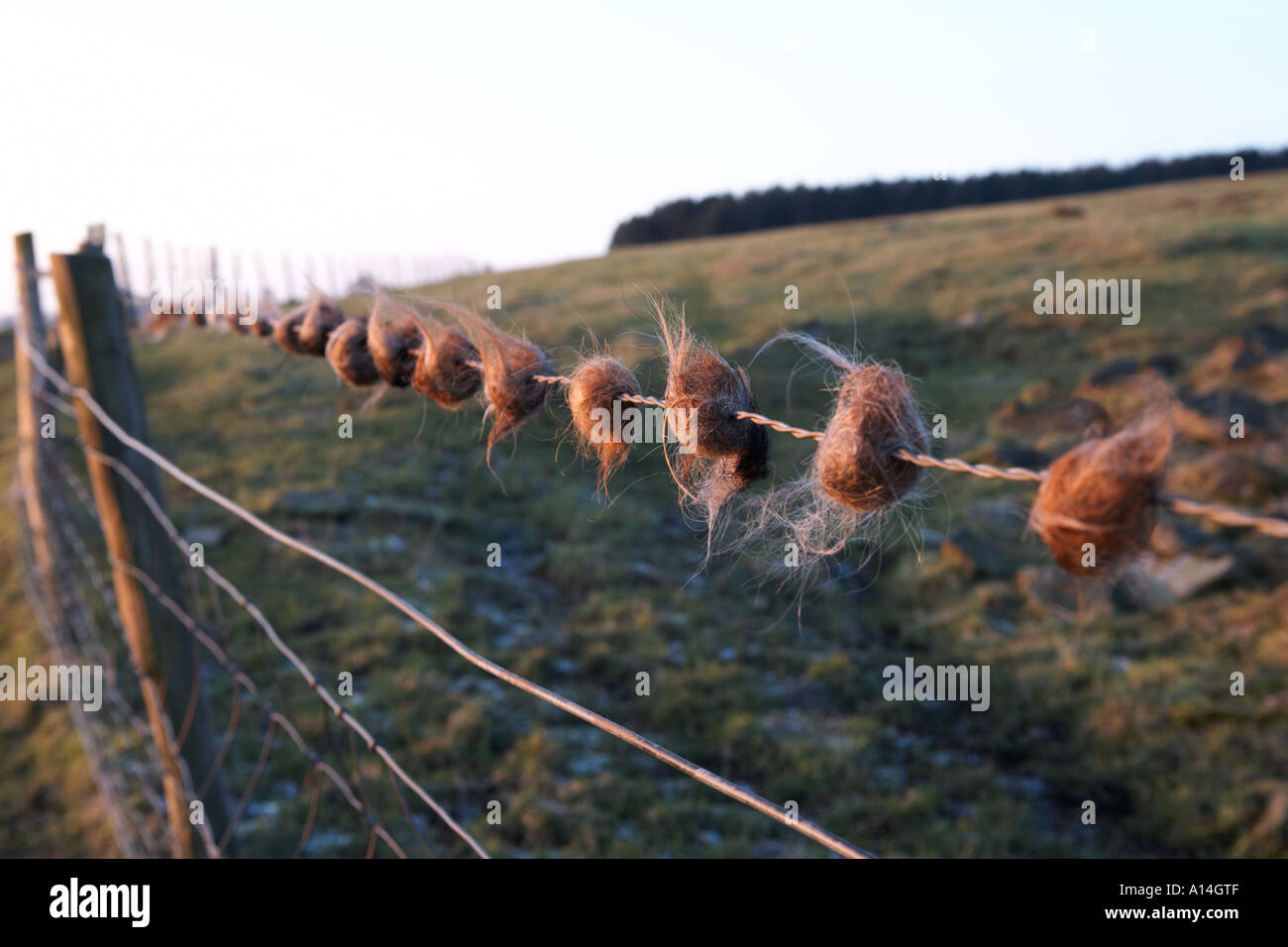 balls of deer hair caught on barbed wire fence where they jump over ...