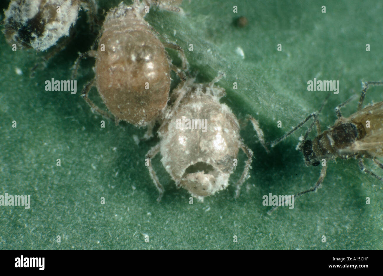 Aphid Brevicoryne brassicae mummy parasitised by Diaeretiella rapae with exit hole - Stock Image