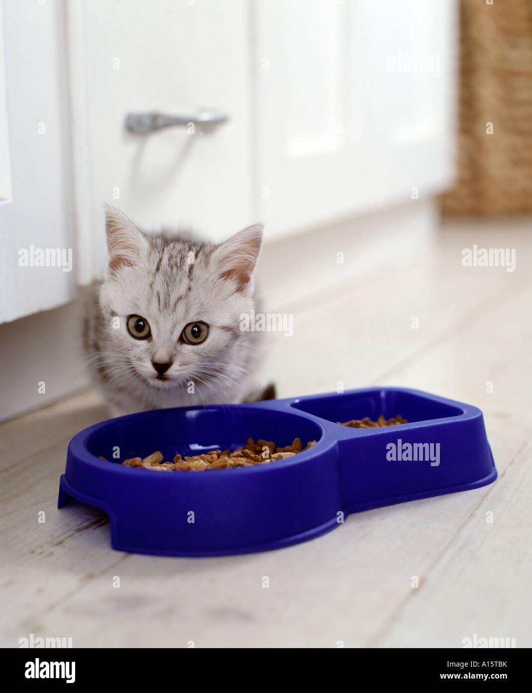 kitten eating - Stock Image