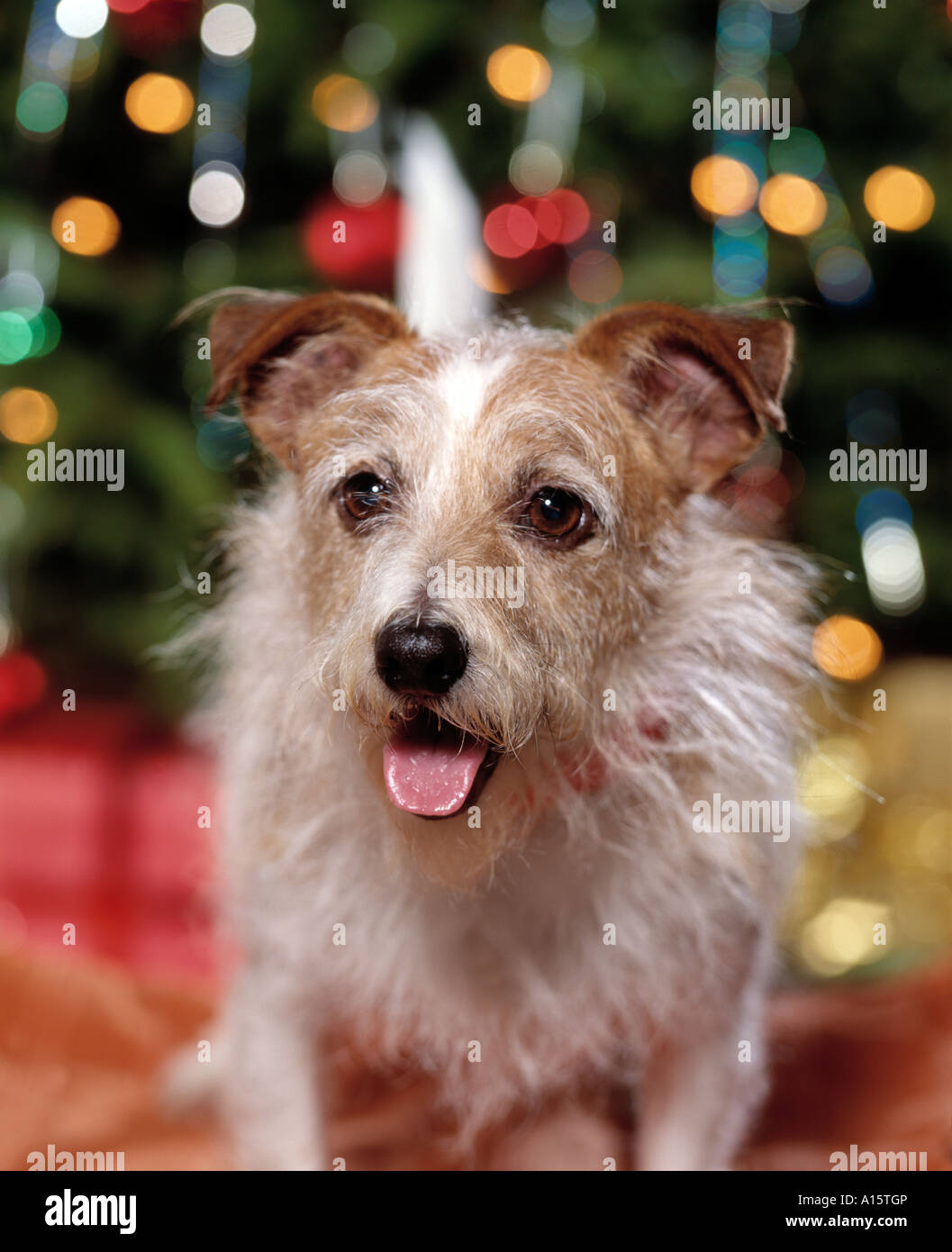 terrier dog near christmas tree - Stock Image