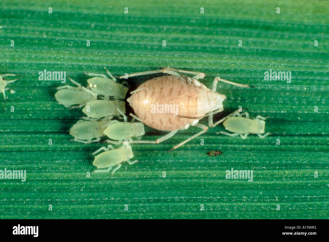 Rose grain aphid Metapolophium dirhodum parasitised and mummified by an Aphidius sp wasp - Stock Image