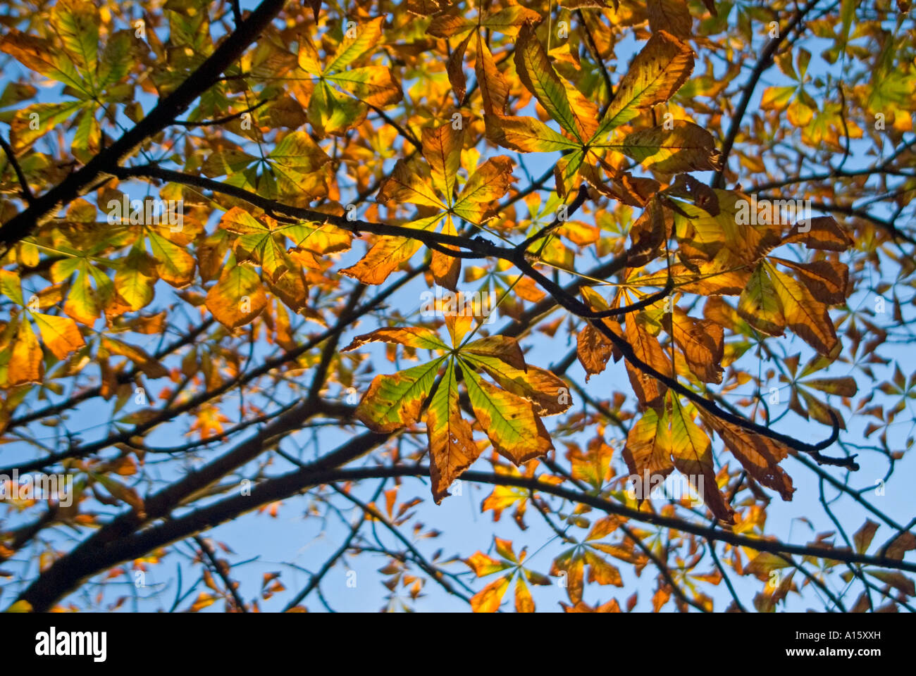 "Horizontal close up of a healthy horse chestnut tree ""Aesculus hippocastanum"" with it's leaves turning brown in Stock Photo"