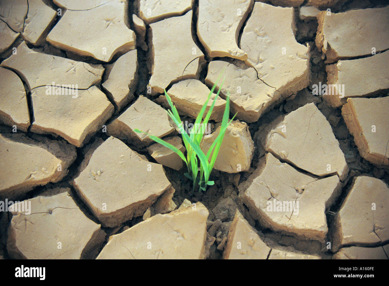 A young sorghum seed struggles to grow in the region of Affole in Mauritania where farmers who were once nomads - Stock Image
