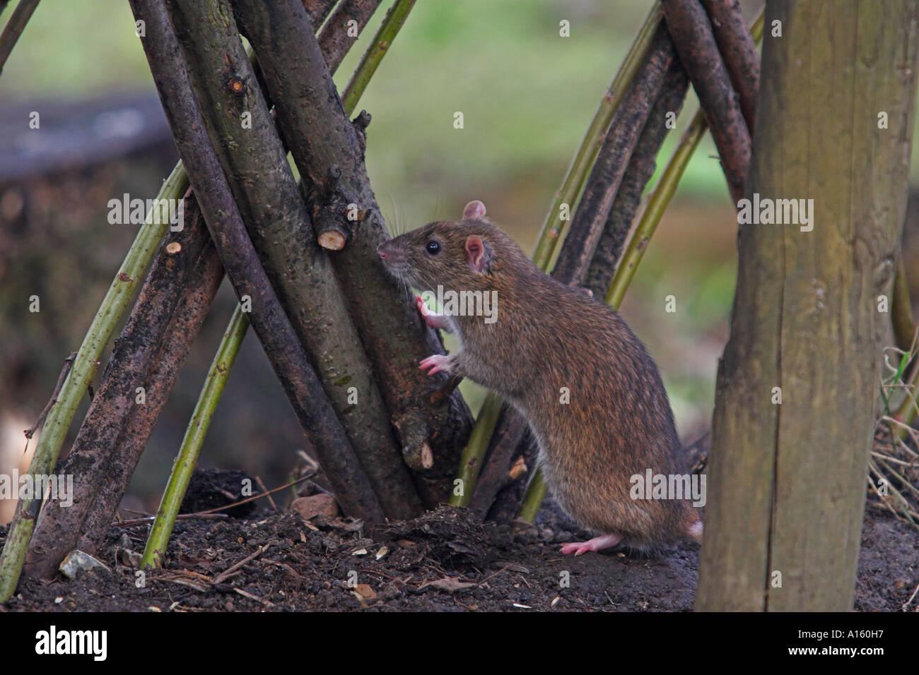 Brown Rat Rattus norvegicus Barnes London UK winter - Stock Image