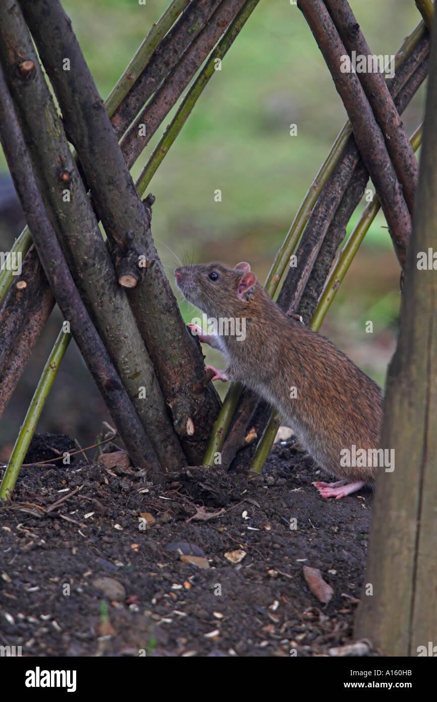 Brown Rat Rattus norvegicus London UK winter - Stock Image