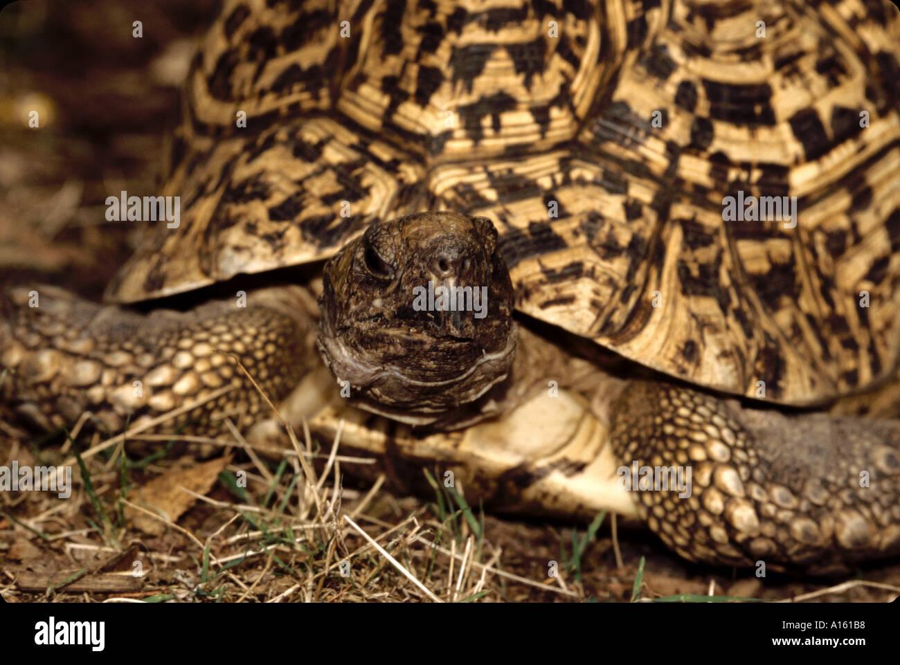 reptile tortoise leopard geochelone pardalis babcocki - Stock Image
