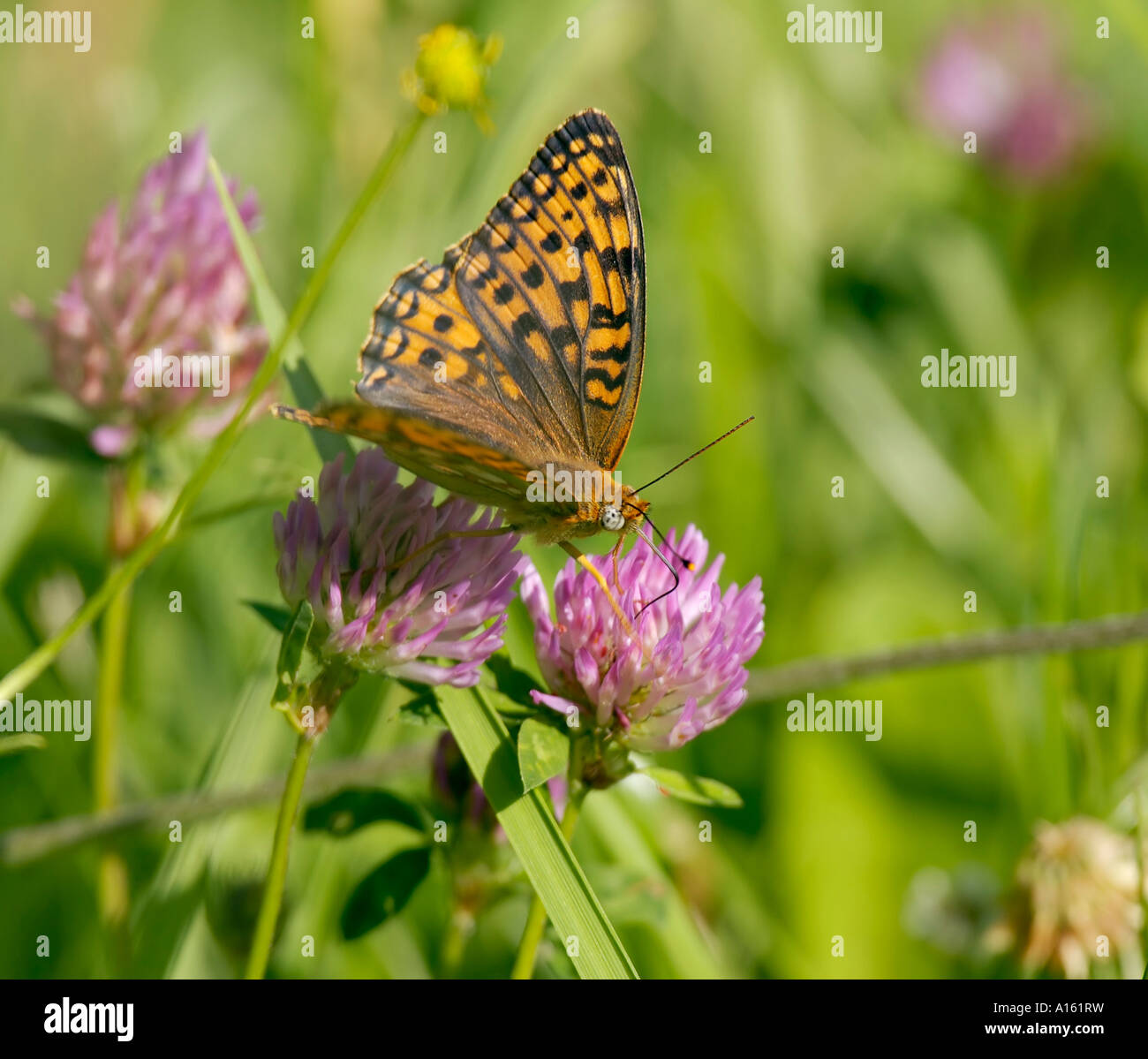 High Brown Fritillary Argynnis adippe - Stock Image