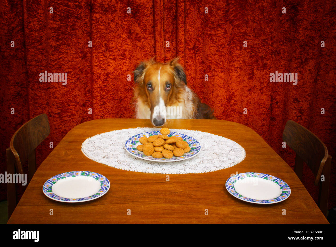 Borzoi dog and plate of biscuits - Stock Image
