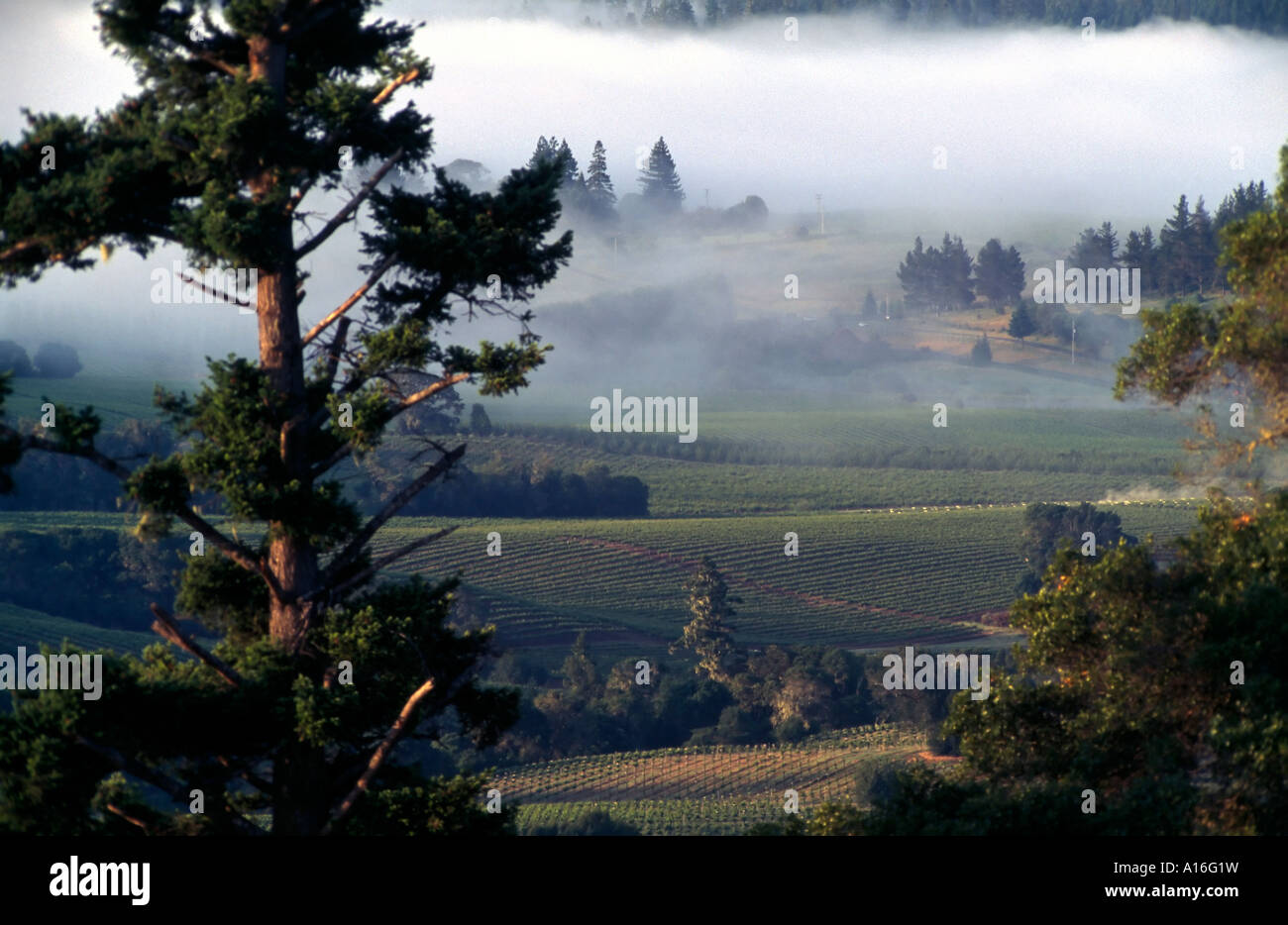 vineyards in morning mist Anderson valley CA USA - Stock Image