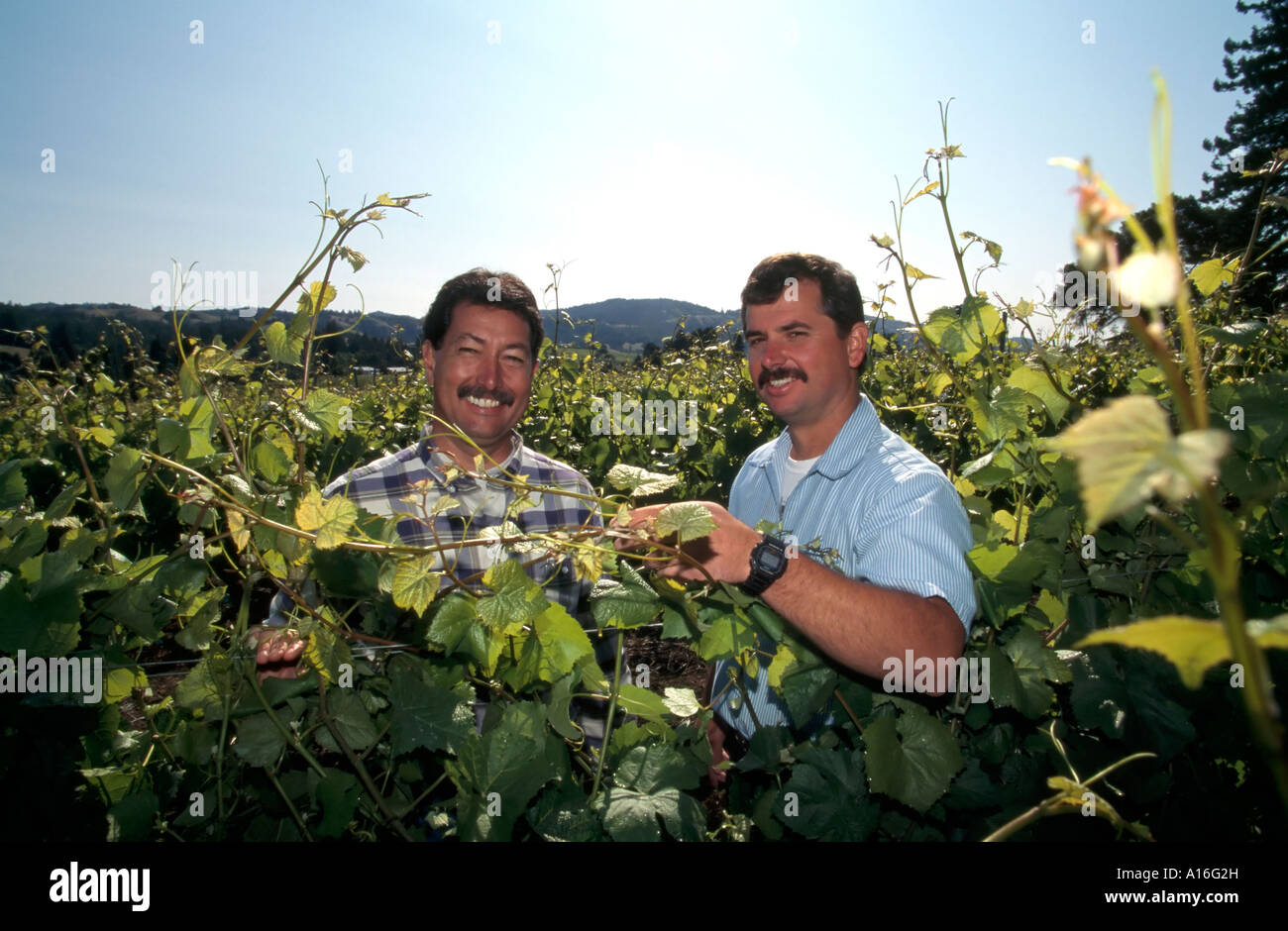 workers in vineyard Anderson Valley CA USA - Stock Image