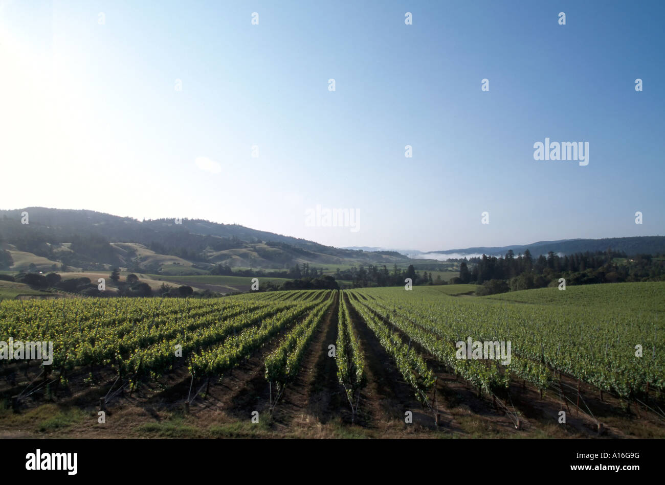 vineyards Anderson Valley CA USA - Stock Image