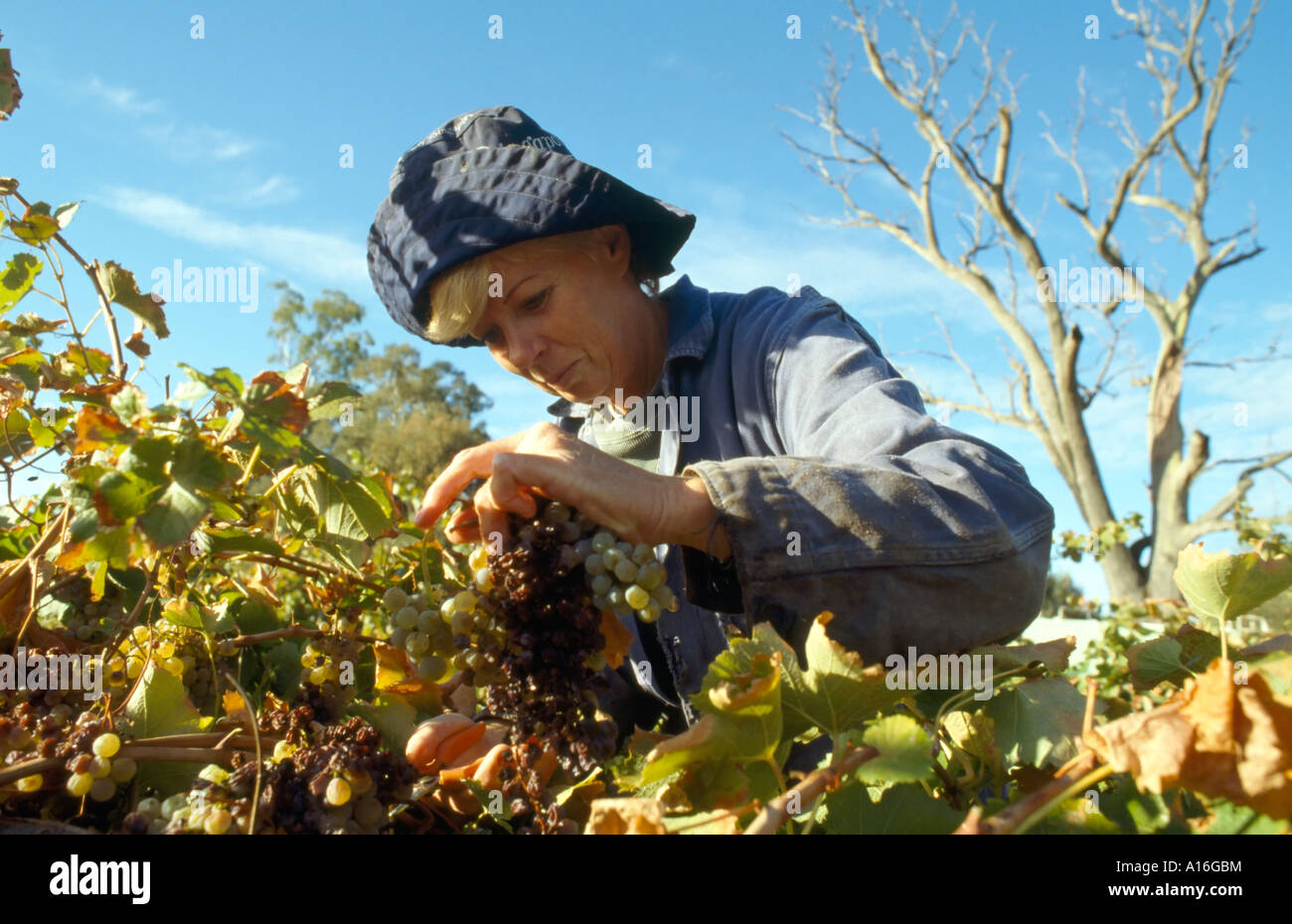 female worker harvesting grapes Anderson Valley CA USA - Stock Image