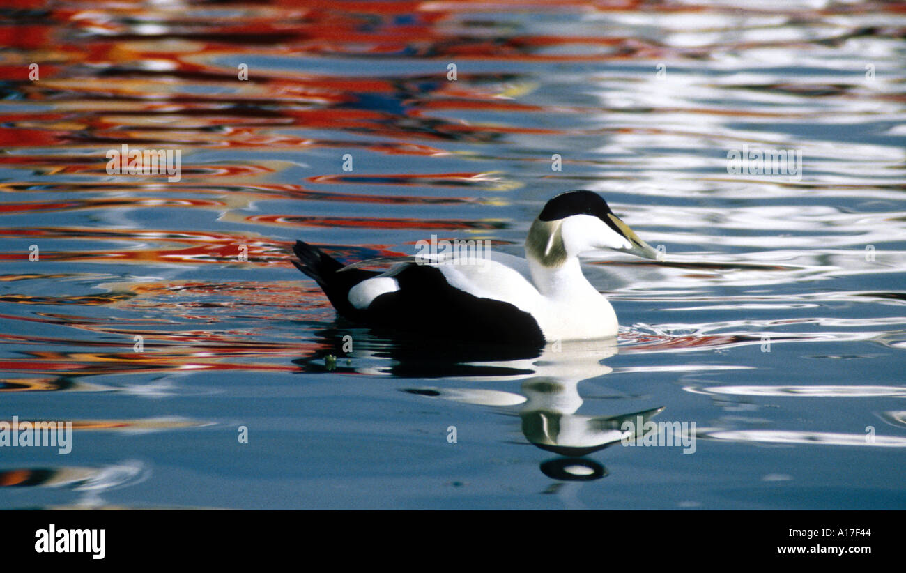 Eider in harbour with reflexion of a fisherboat - Stock Image