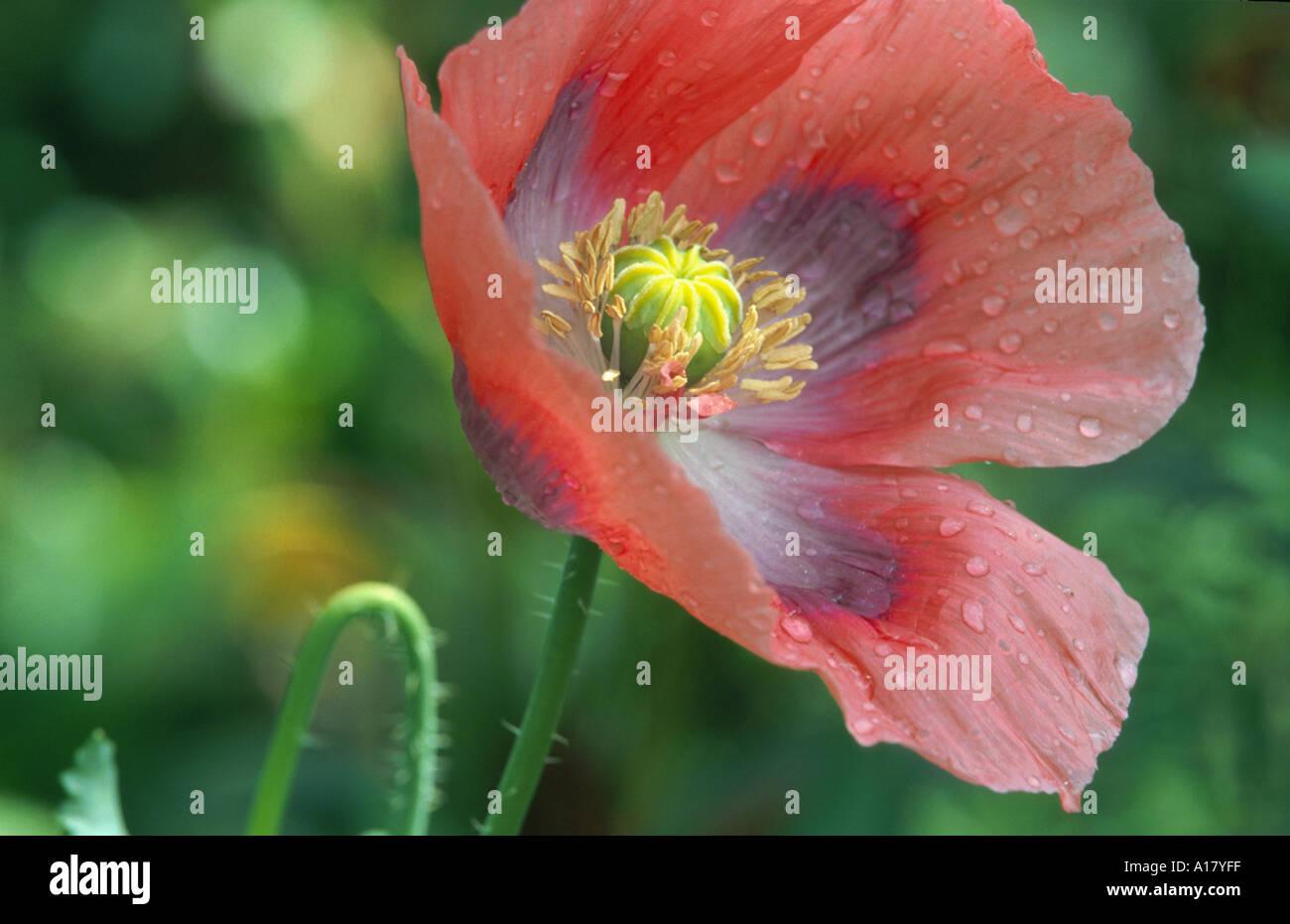 Opium Poppy Papaver Somniferum Flower Stock Photo 3321854 Alamy