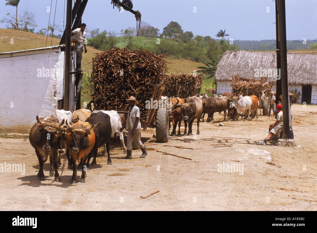 Ox carts haul stacked cane from fields for transfer to refinery at a sugar plantation on the north coast plain of Pinar del Rio - Stock Image