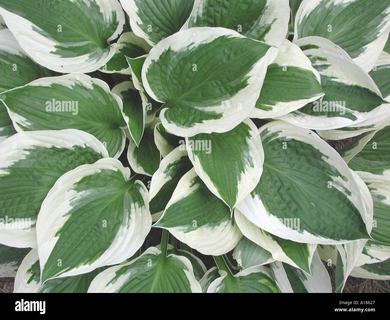 White And Green Hosta Plant Stock Photo 99879 Alamy