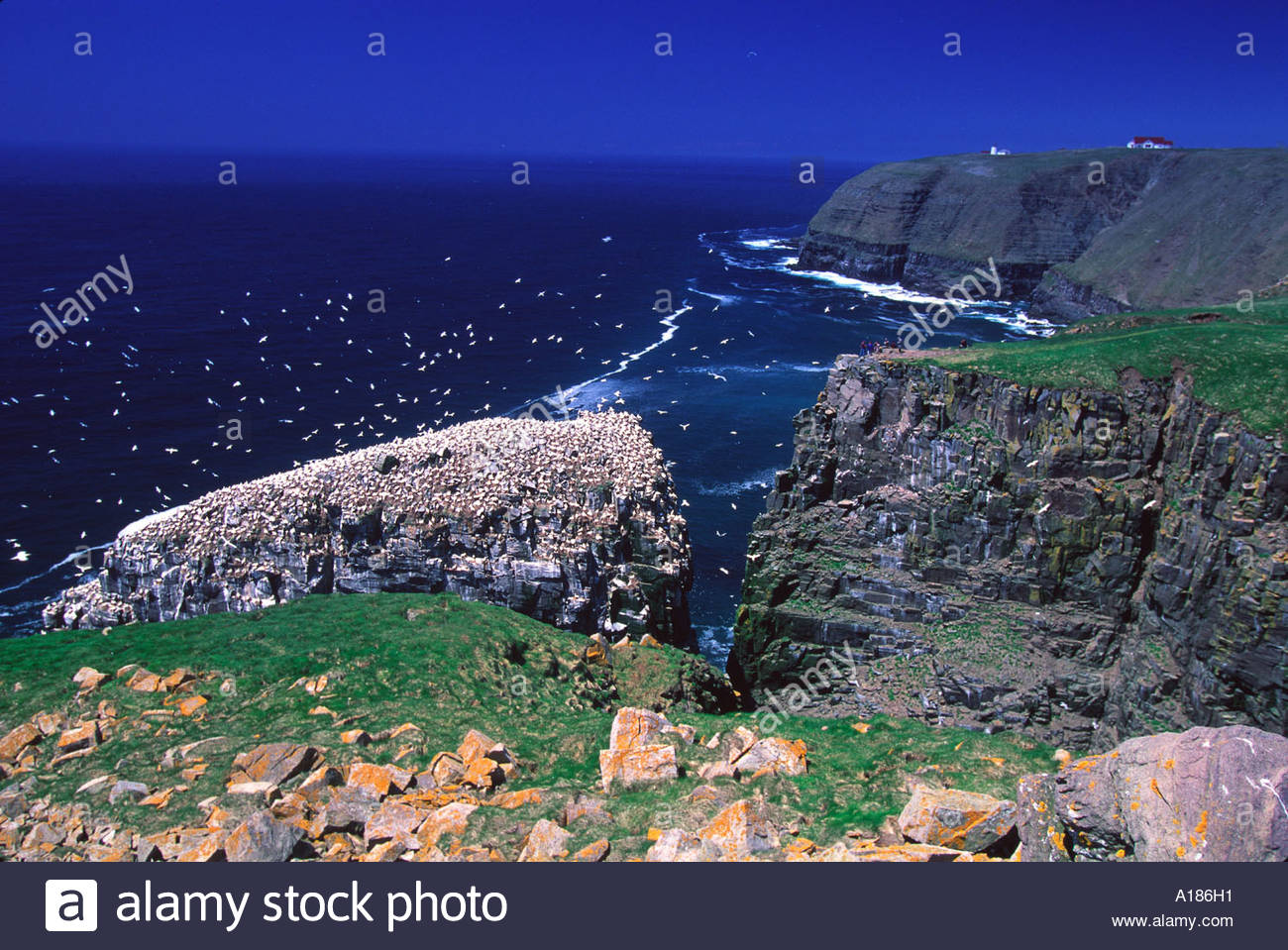 Northern gannets at Cape St Mary s Ecological Reserve Avalon Peninsula Newfoundland Canada - Stock Image