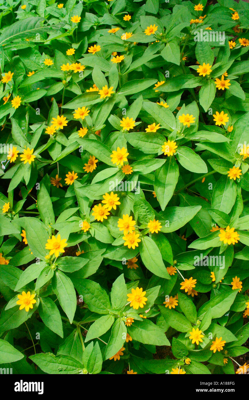 Popular Tropical Garden Plant With Small Yellow Flowers In Summer